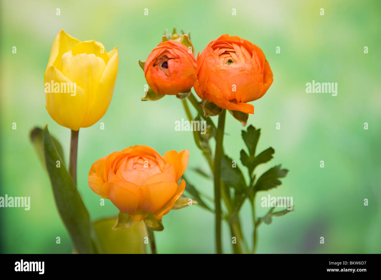 Various tulips - Stock Image