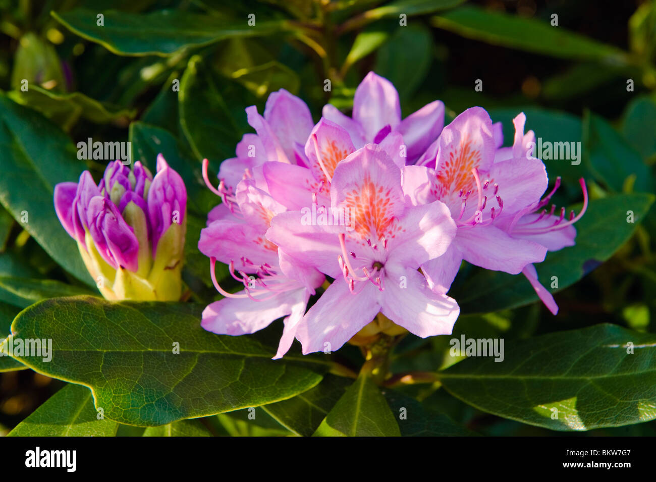 Rhododendron flower (Rhododendron ponticum) in Grizedale, near Garstang, Lancashire, England Stock Photo