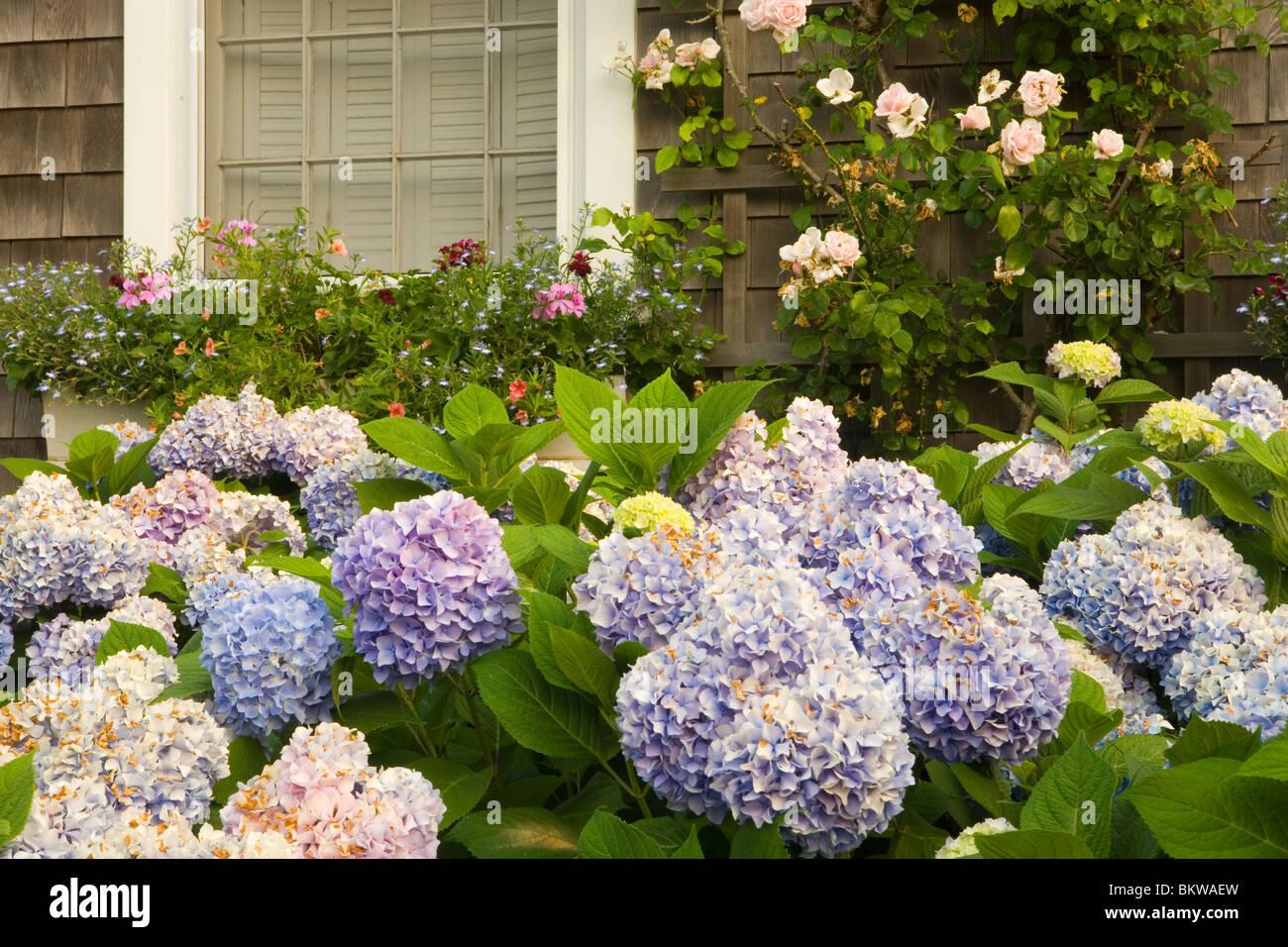 Hydrangea and Nantucket garden. - Stock Image