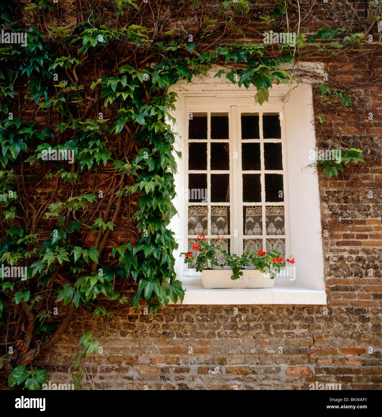 Lush green ivy vines grow on wall & window of 1825 farmhouse & grist mill, Sept-Meules, near Eu, Normandy - Stock Image