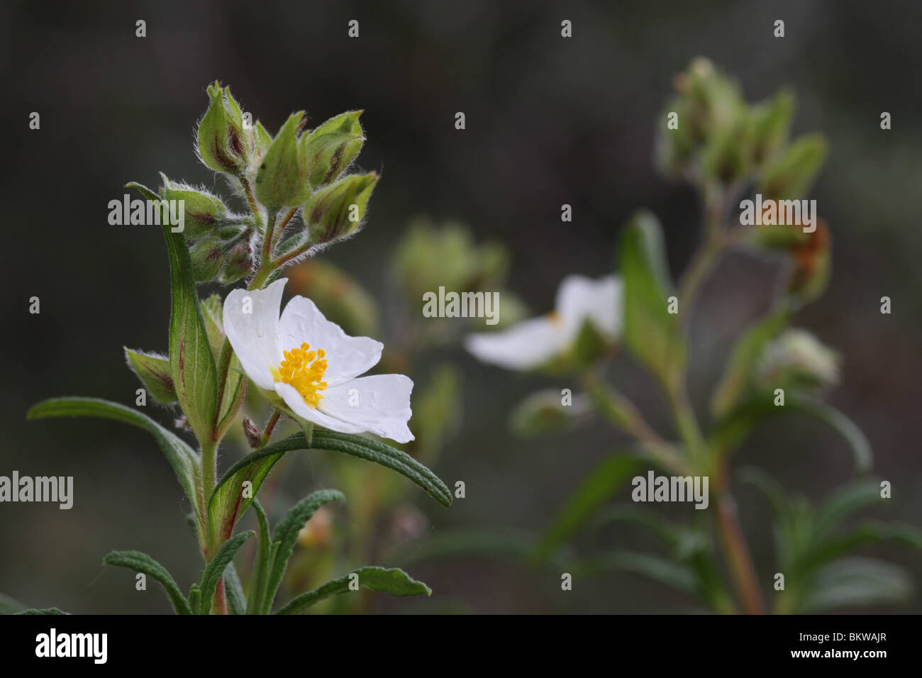 Bush With Small White Flowers Stock Photos Bush With Small White