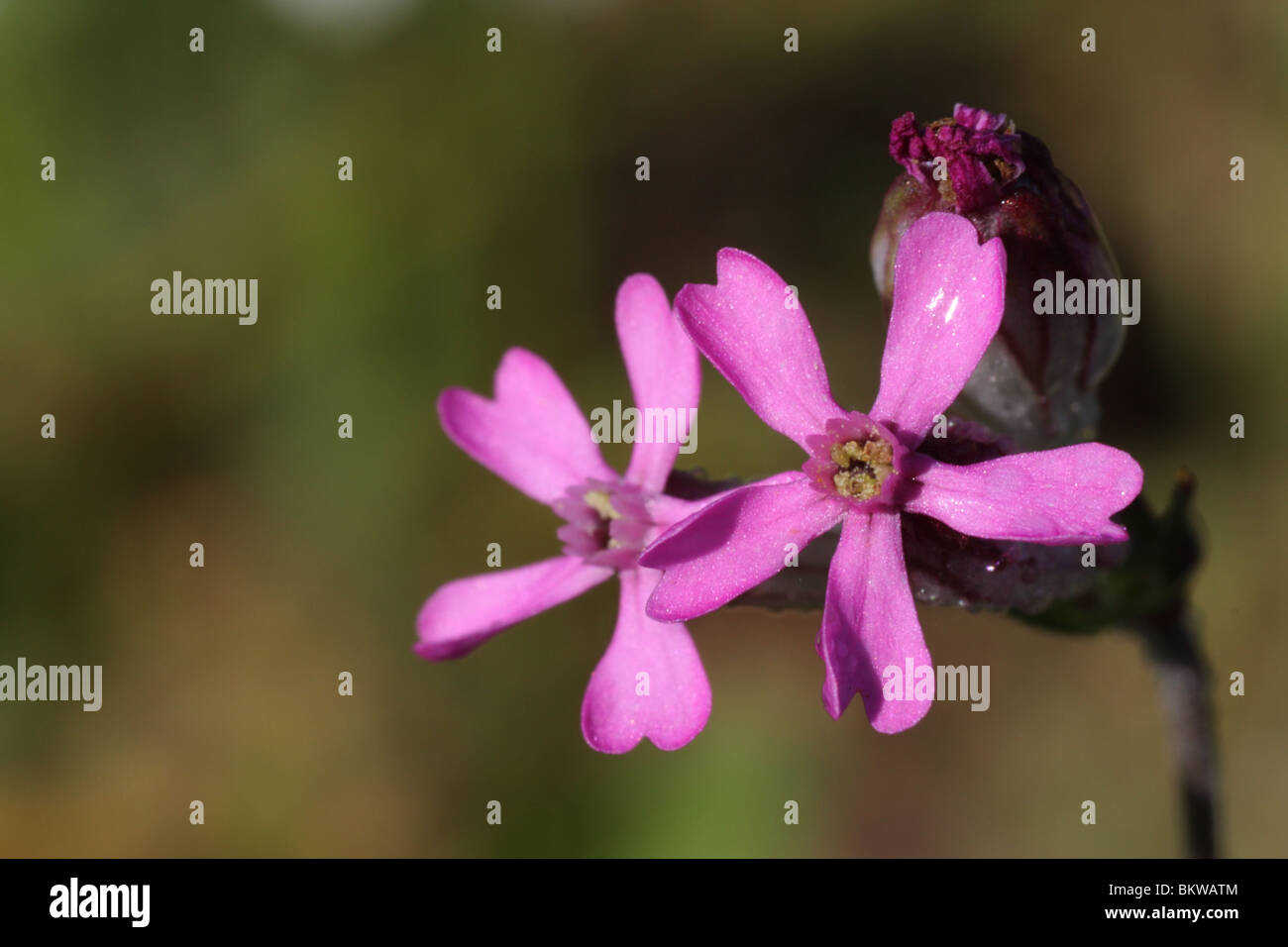 Silene rubella is an annual species of farmland and orchards which are yearly plowed. It occurs in the Mediterranean, - Stock Image