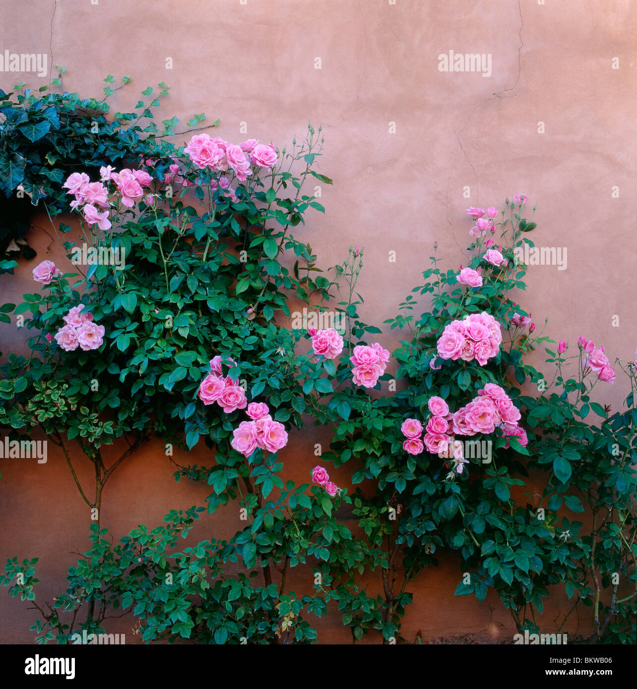 Pink roses climb an adobe wall along Canyon Road, site of galleries & shops, Sante Fe, New Mexico, USA - Stock Image