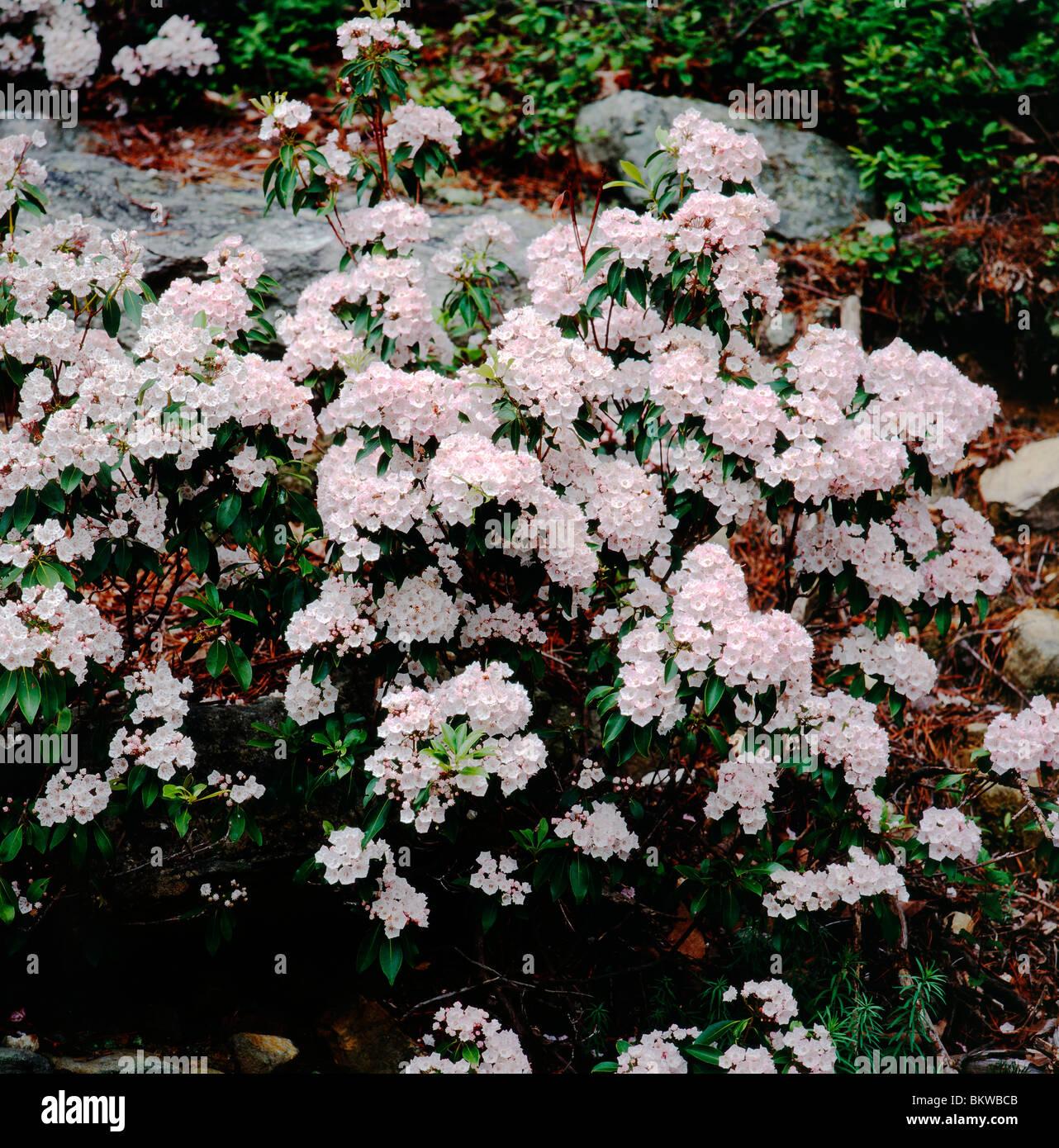 Evergreen Mountain Laurel (Kalmia latifolia) in bloom, Pennsylvania ...