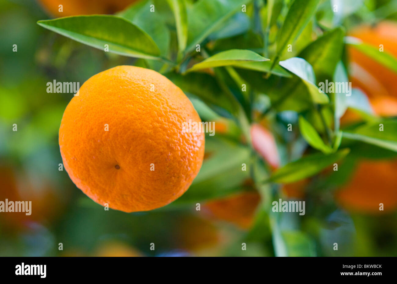 Andalusia, Seville, Orange - Stock Image