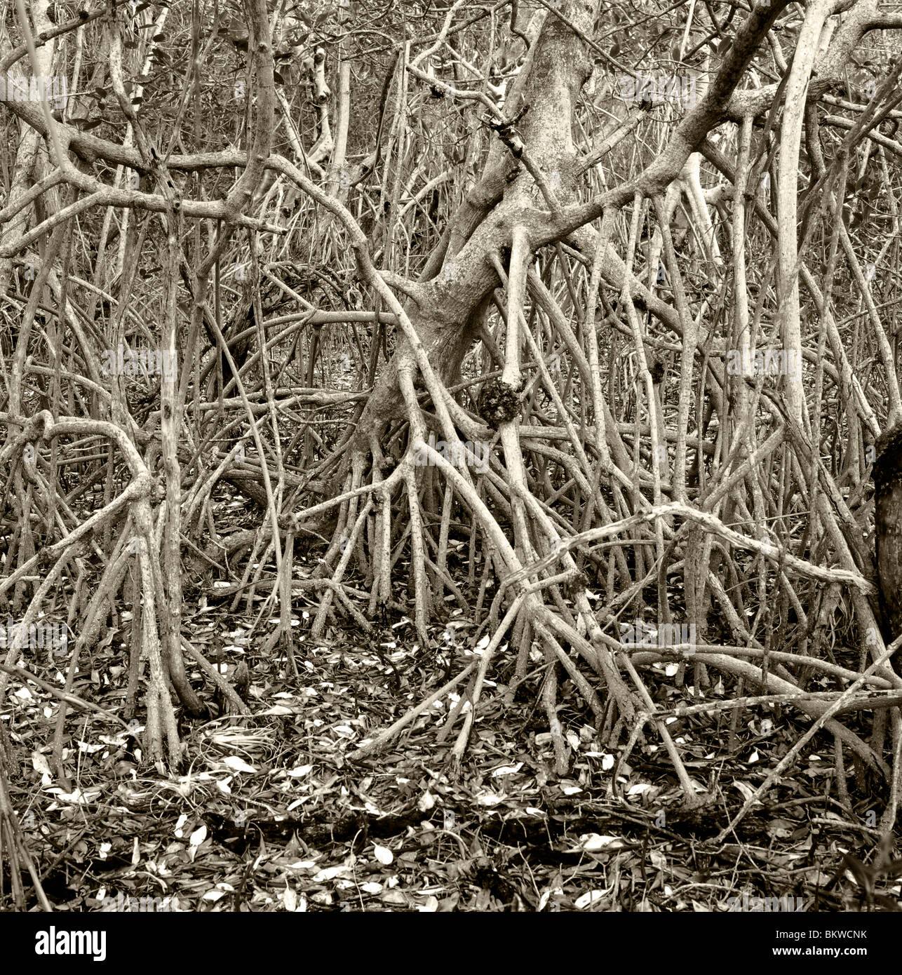 Black & white photograph of the roots of a Mangrove tree, Ding Darling National Wildlife Refuge, Sannibel Island, - Stock Image