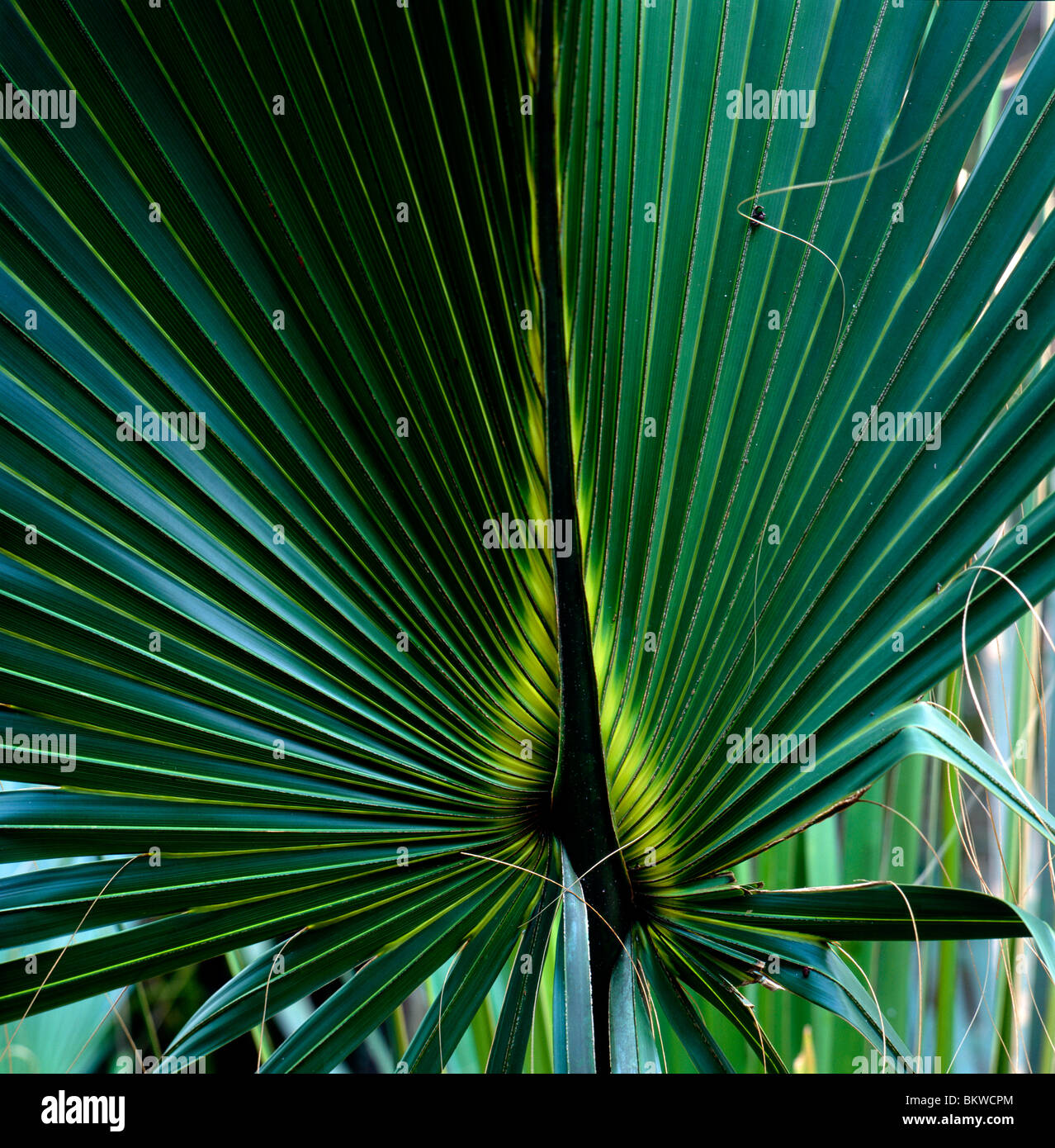 Close-up view of the fronds of a Palmetto tree leaf, Ding Darling National Wildlife Refuge, Sanibel Island, Florida, - Stock Image