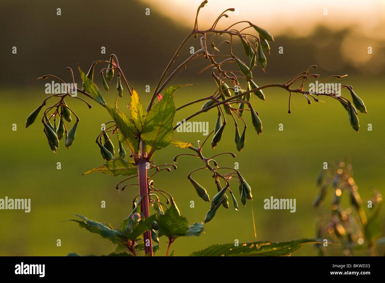 Seed-pods of Himalayan Balsam (Impatiens glandulifera) near Garstang, Lancashire, England - Stock Image
