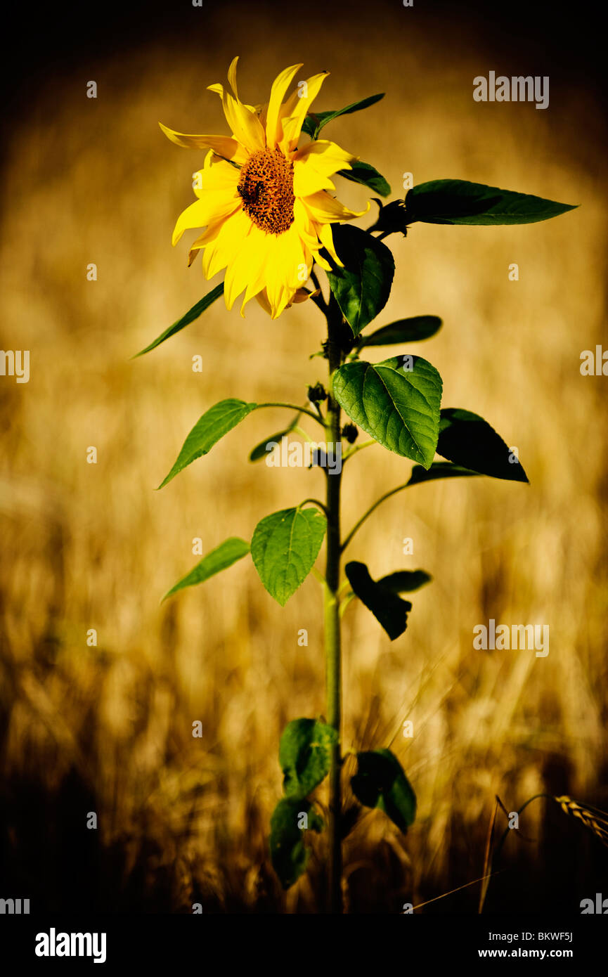 Lonely sunflower in a field - Stock Image