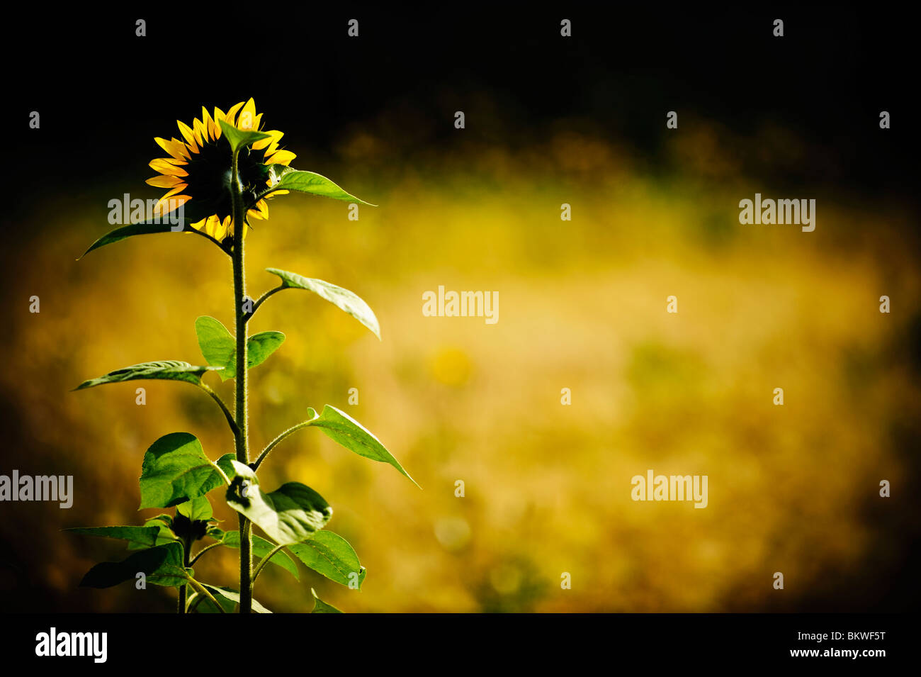 Lonely sunflower growing in field - Stock Image