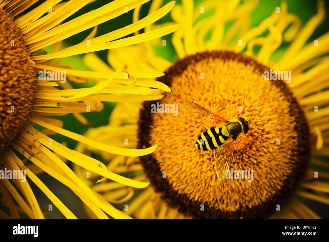 Closeup on flower and fly - Stock Image