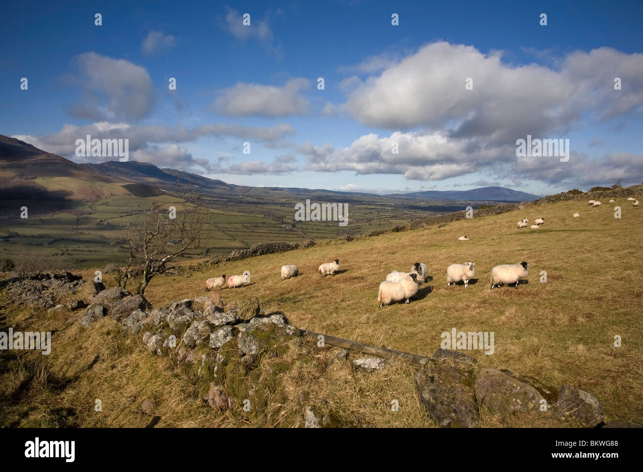 Sheep on Croaghaun, Overlooking the Comeragh Mountains, County Waterford, Ireland - Stock Image