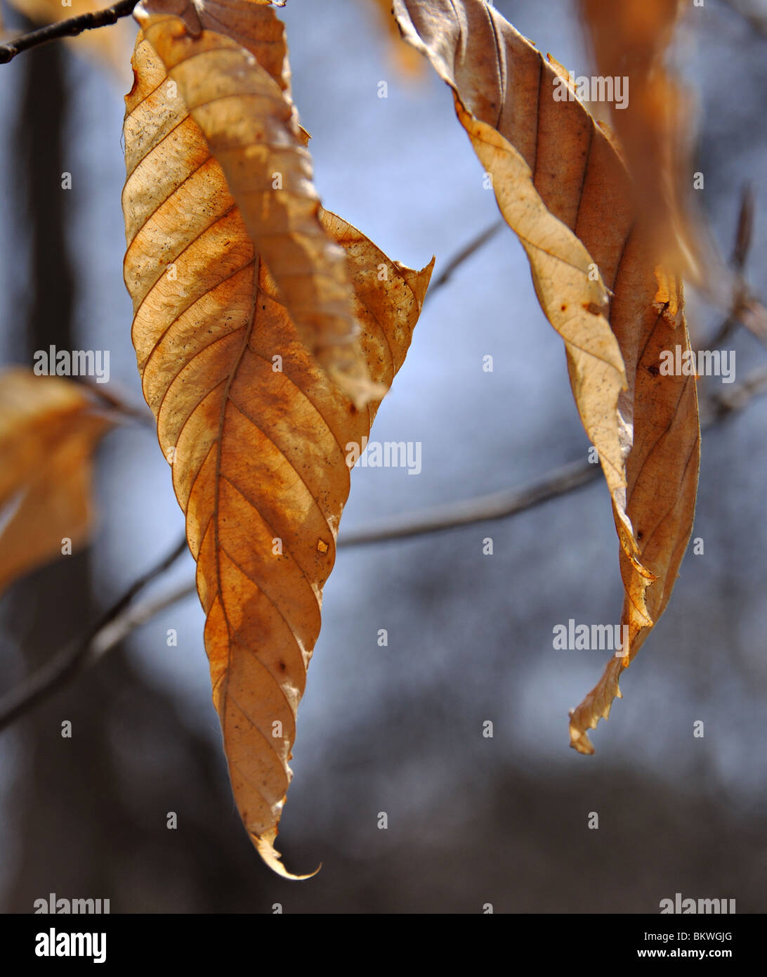 Backlit dead silver birch leaves against sky - Stock Image