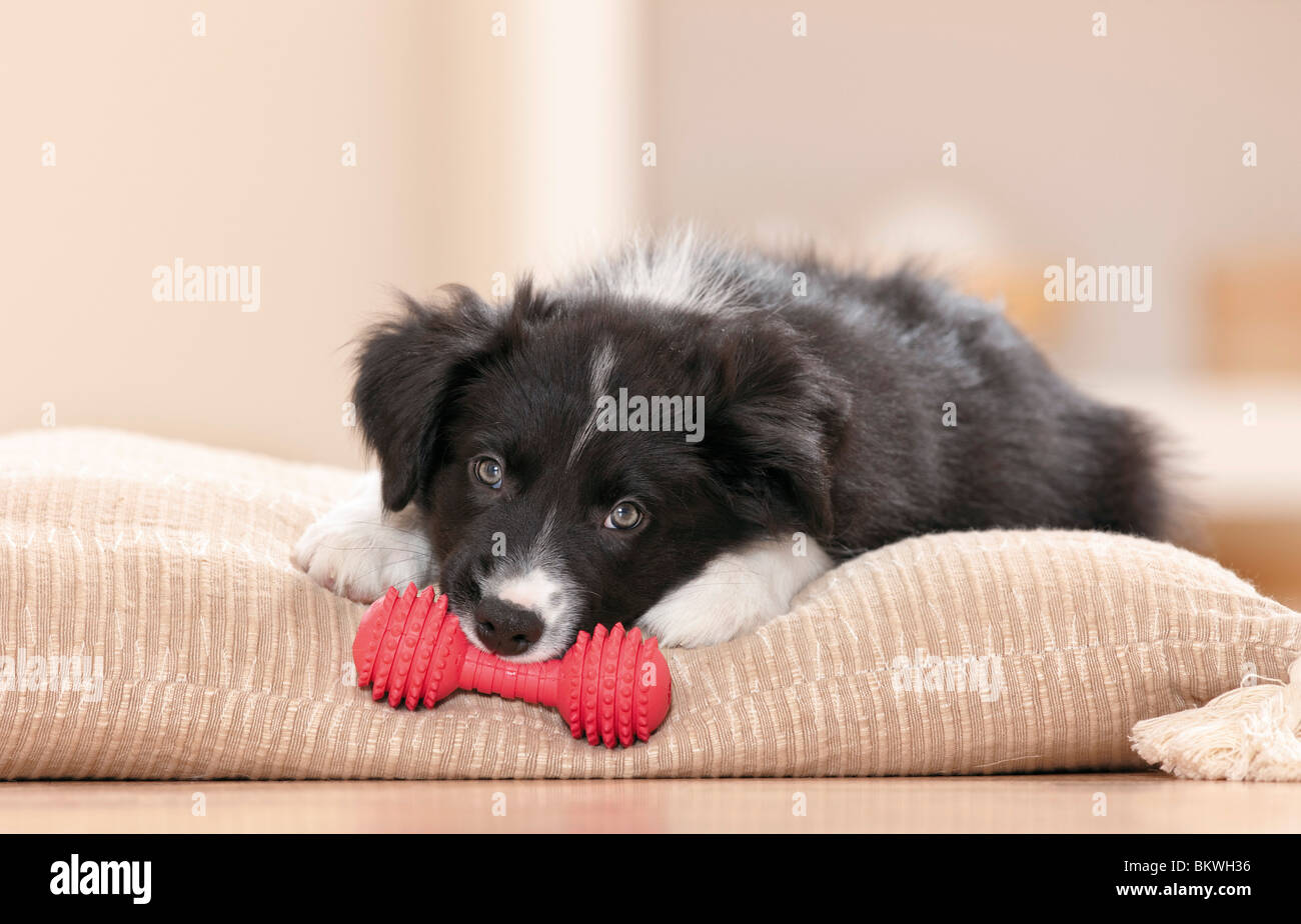 Border Collie dog puppy toy lying pillow - Stock Image