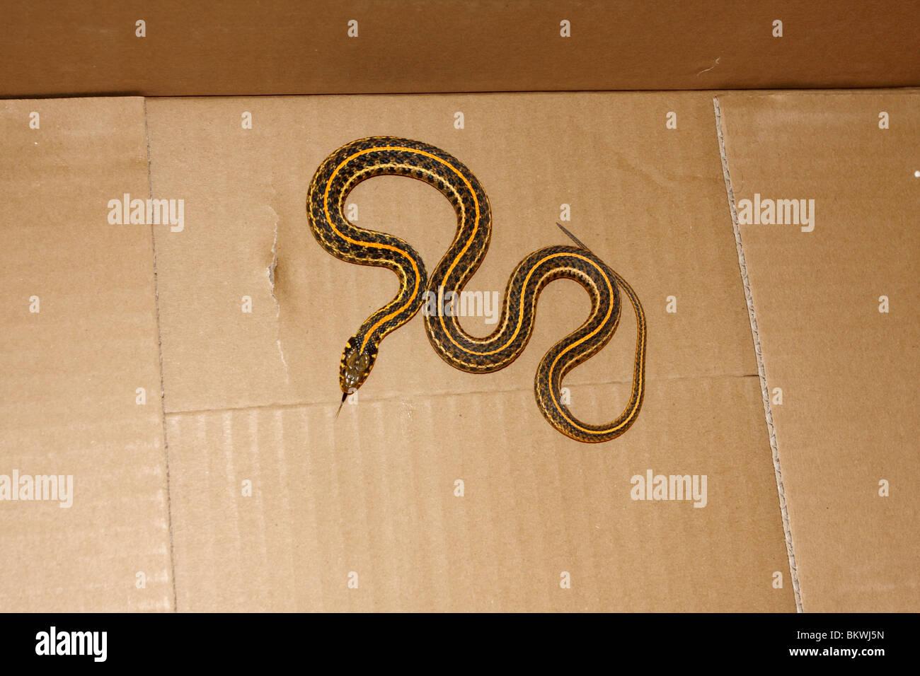 small garden snake in corrugated cardboard box stock photo 29451905