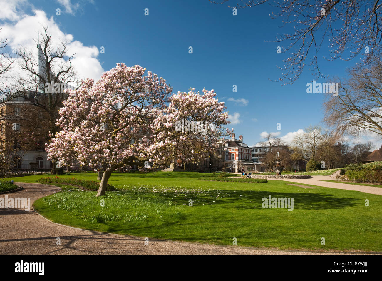 Blossoming magnolia tree in Forbury Gardens in the centre of Reading, Berkshire, Uk Stock Photo
