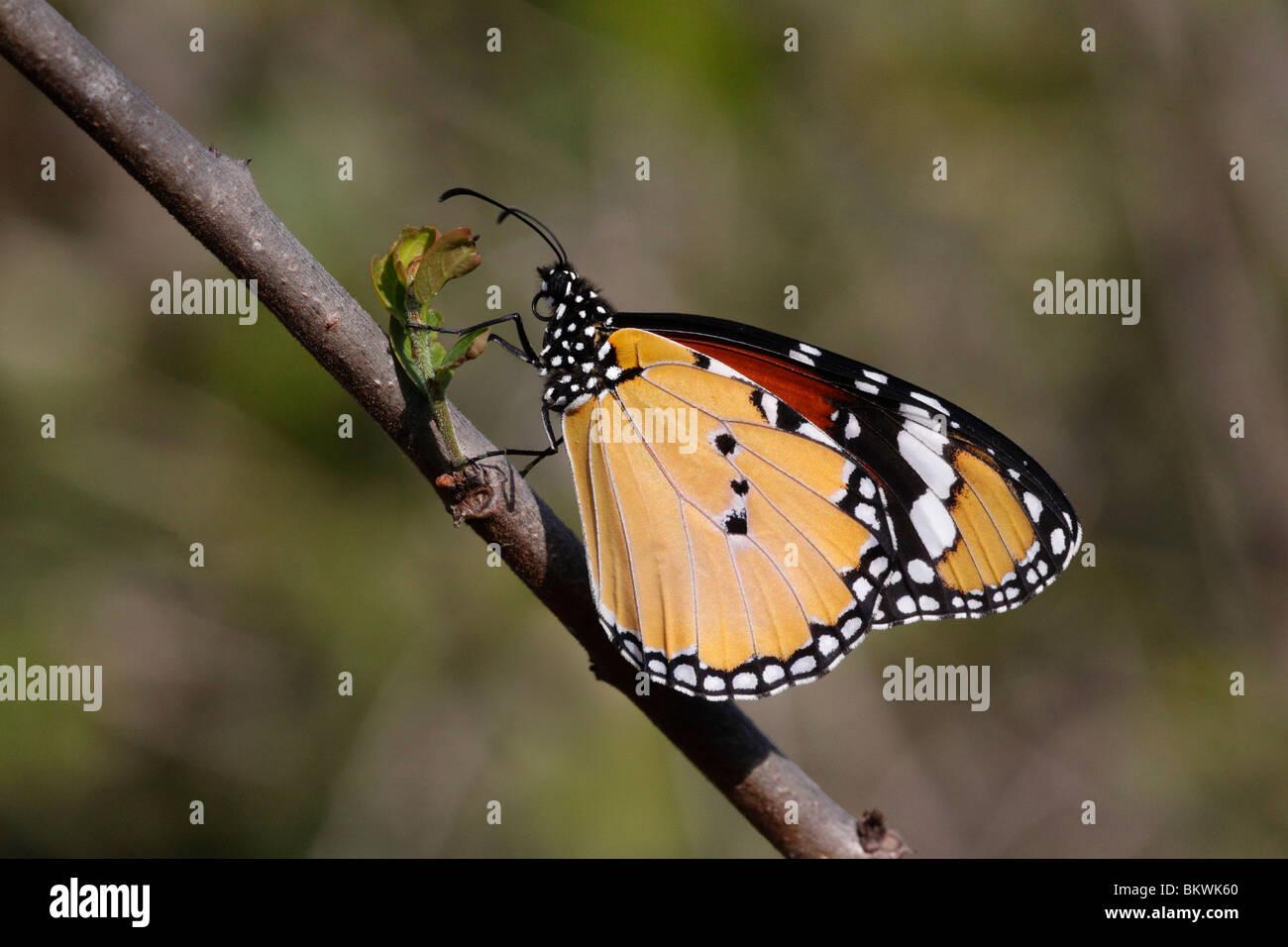 Plain Tiger Butterfly, Danaus chrysippus, Keoladeo NP, Bharatpur, India - Stock Image