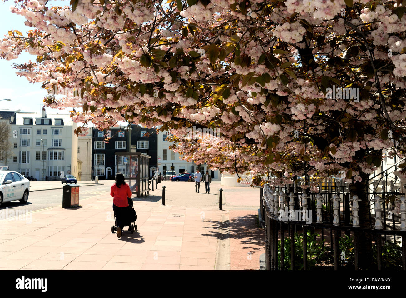 Cherry blossom in full bloom in Brighton city centre at spring time UK Stock Photo