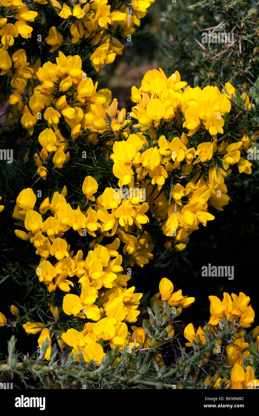 Gorse in flower - Stock Image
