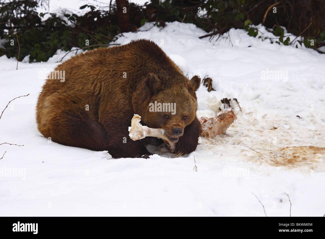 brown bear ursus arctos Braunbär - Stock Image