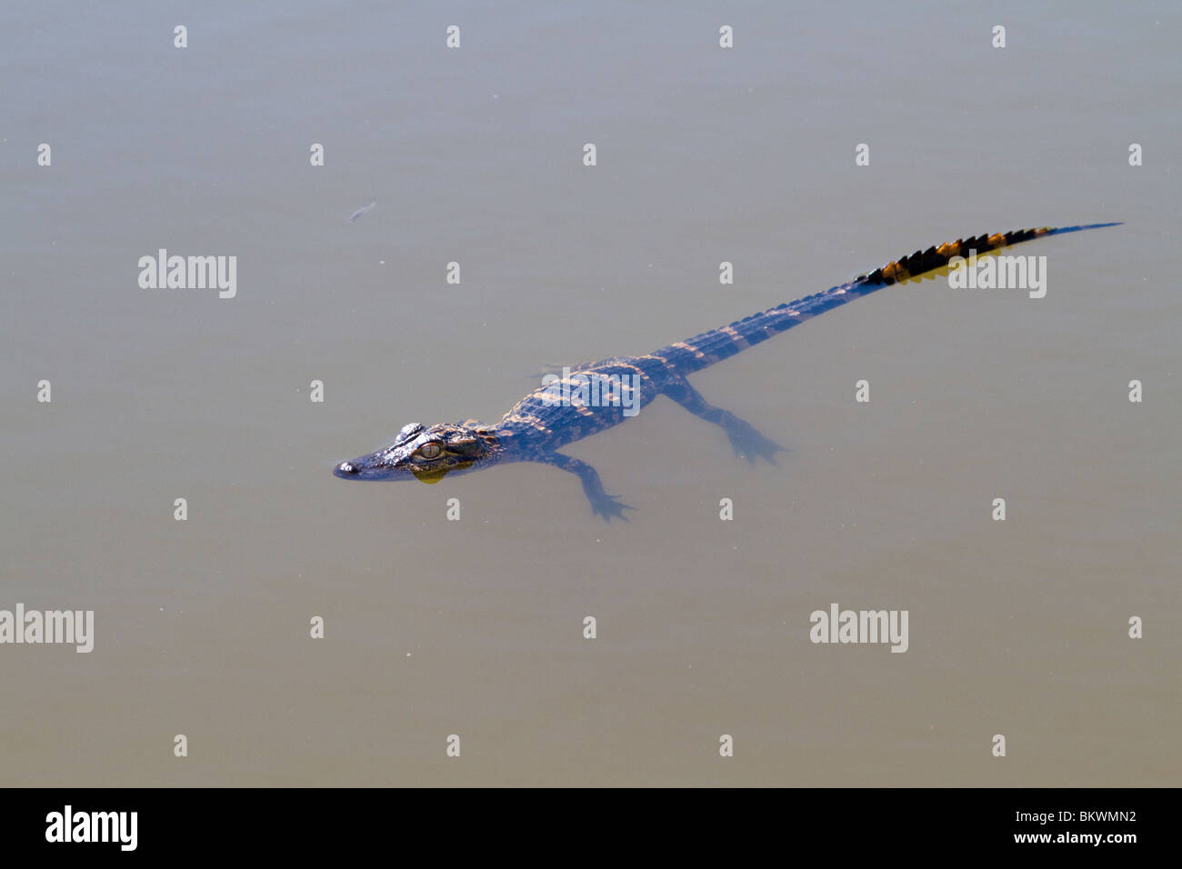 A young North American alligator hanging in water. Stock Photo
