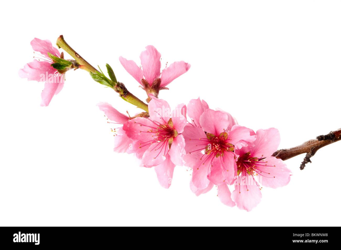 spring flowers - Stock Image