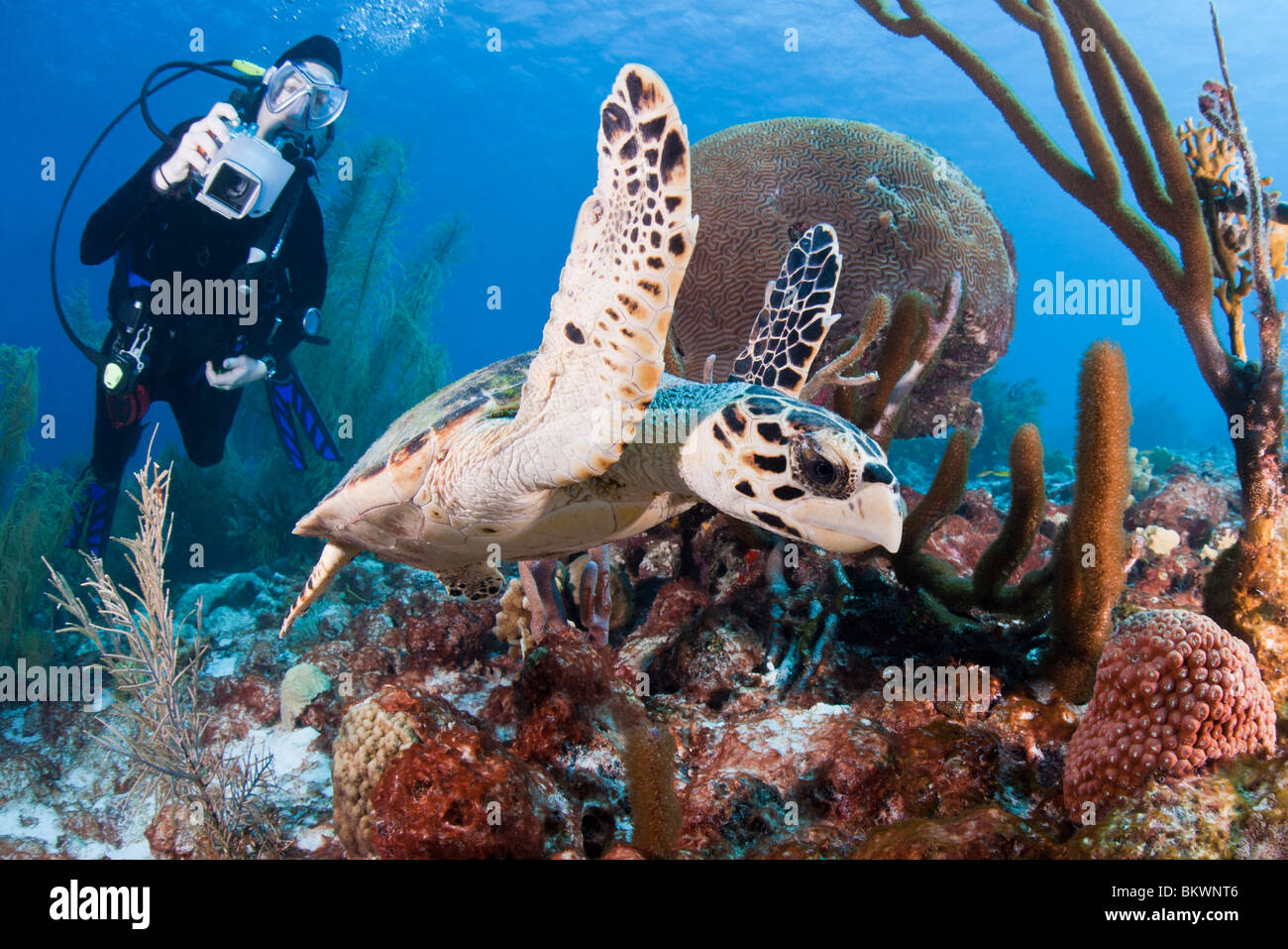 Atlantic Hawksbill Turtle swimming on a tropical coral reef while being photographed by scuba diver - Stock Image