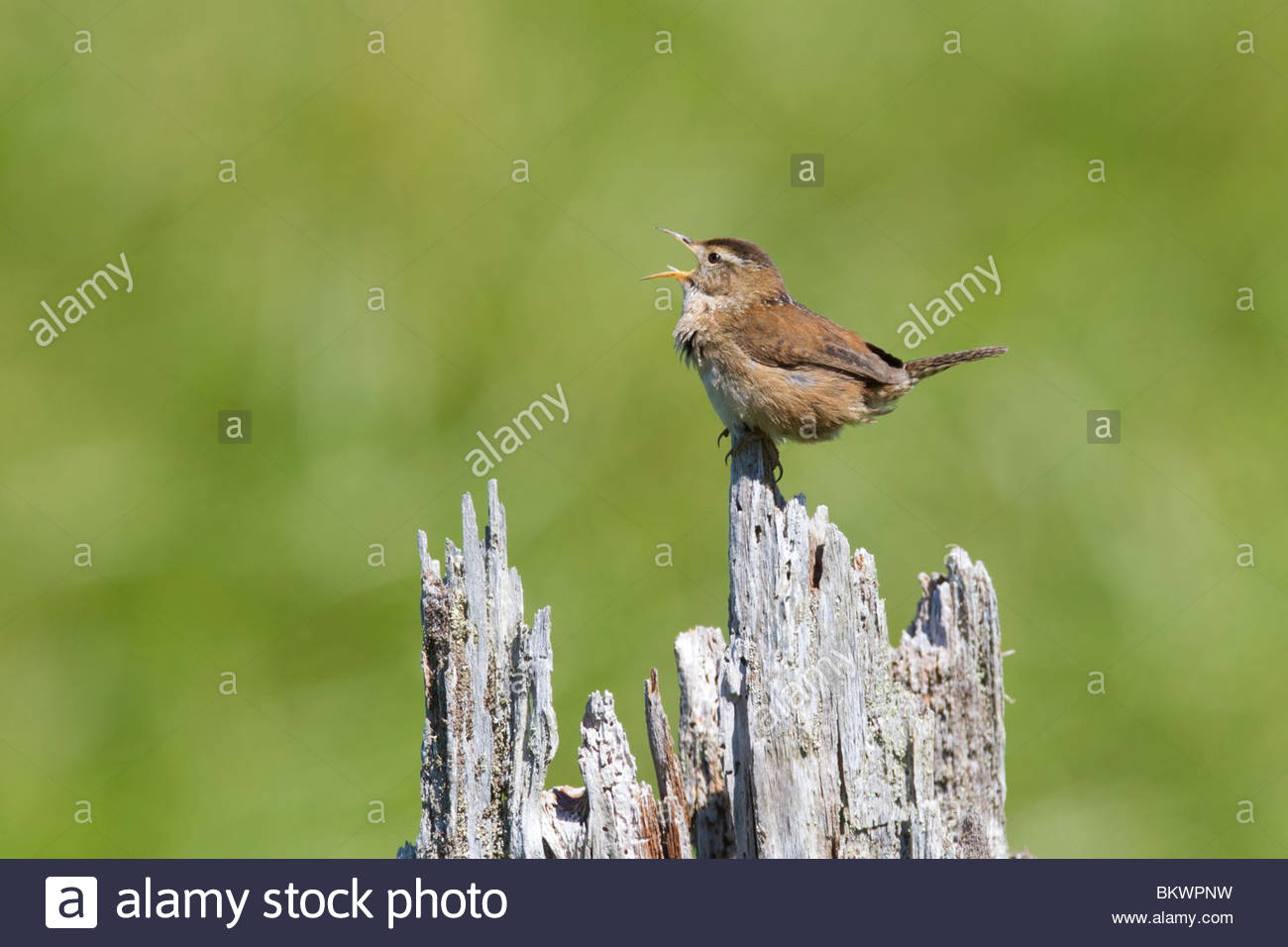 A marsh wren (Cistothorus palustris) sings from its perch in the Grays Harbor National Wildlife Refuge in Hoquiam, - Stock Image