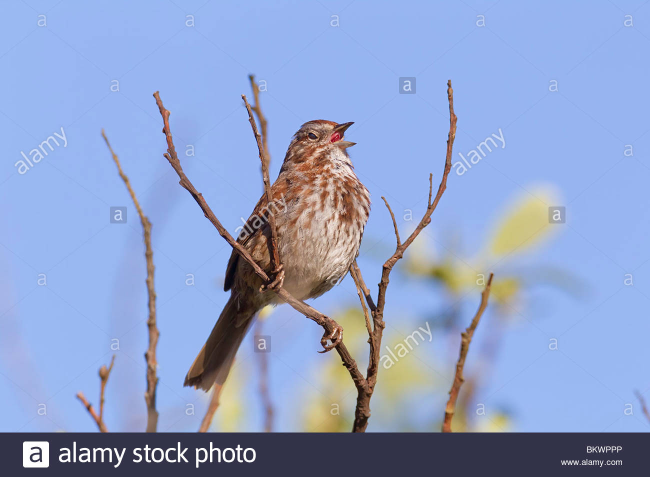 A song sparrow (Melospiza melodia) sings from a perch high in a tree in the Grays Harbor National Wildlife Refuge. - Stock Image