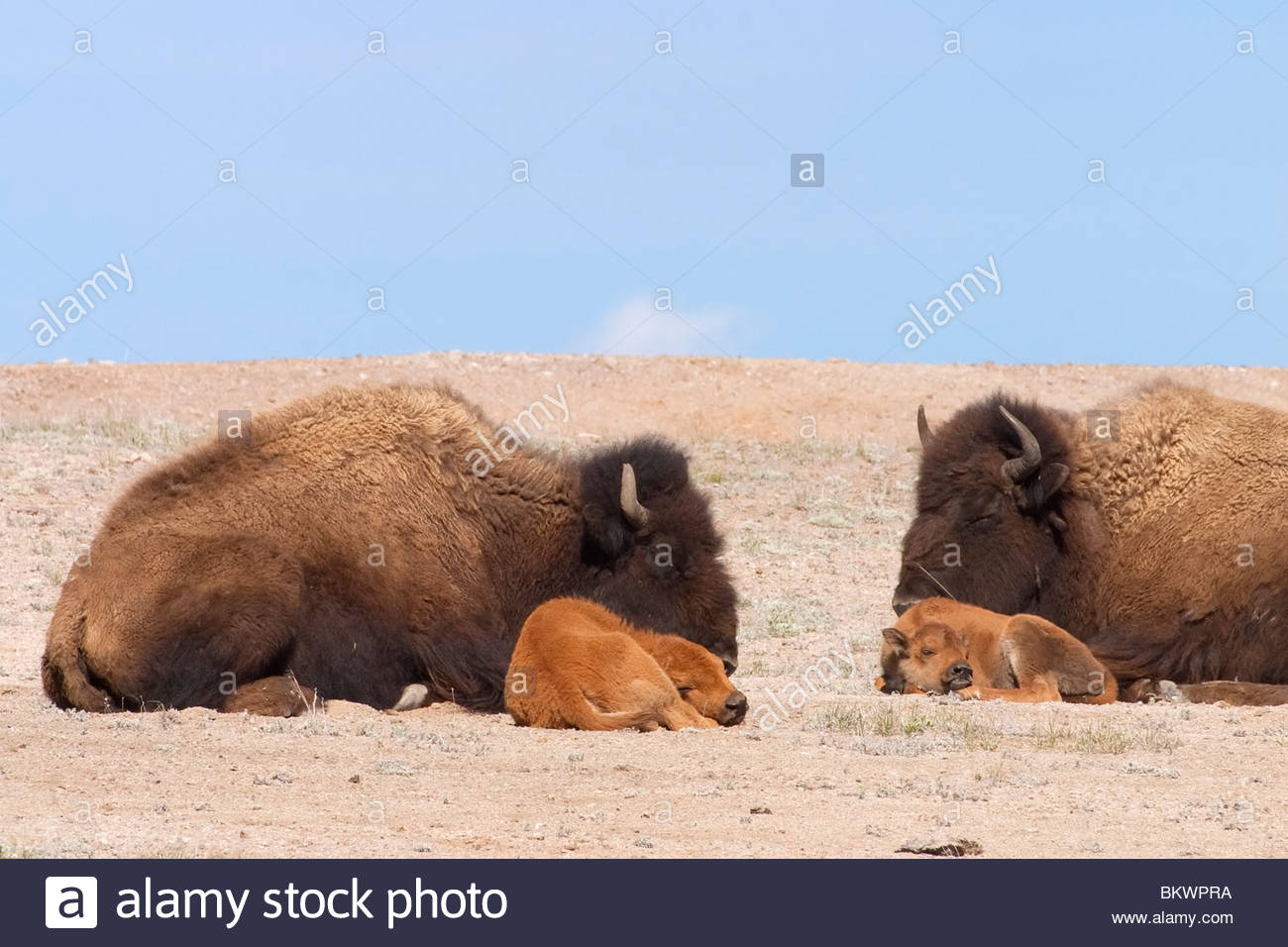 Two American bison (Bison bison) rest with their calves on an open field in Yellowstone National Park, Wyoming. - Stock Image