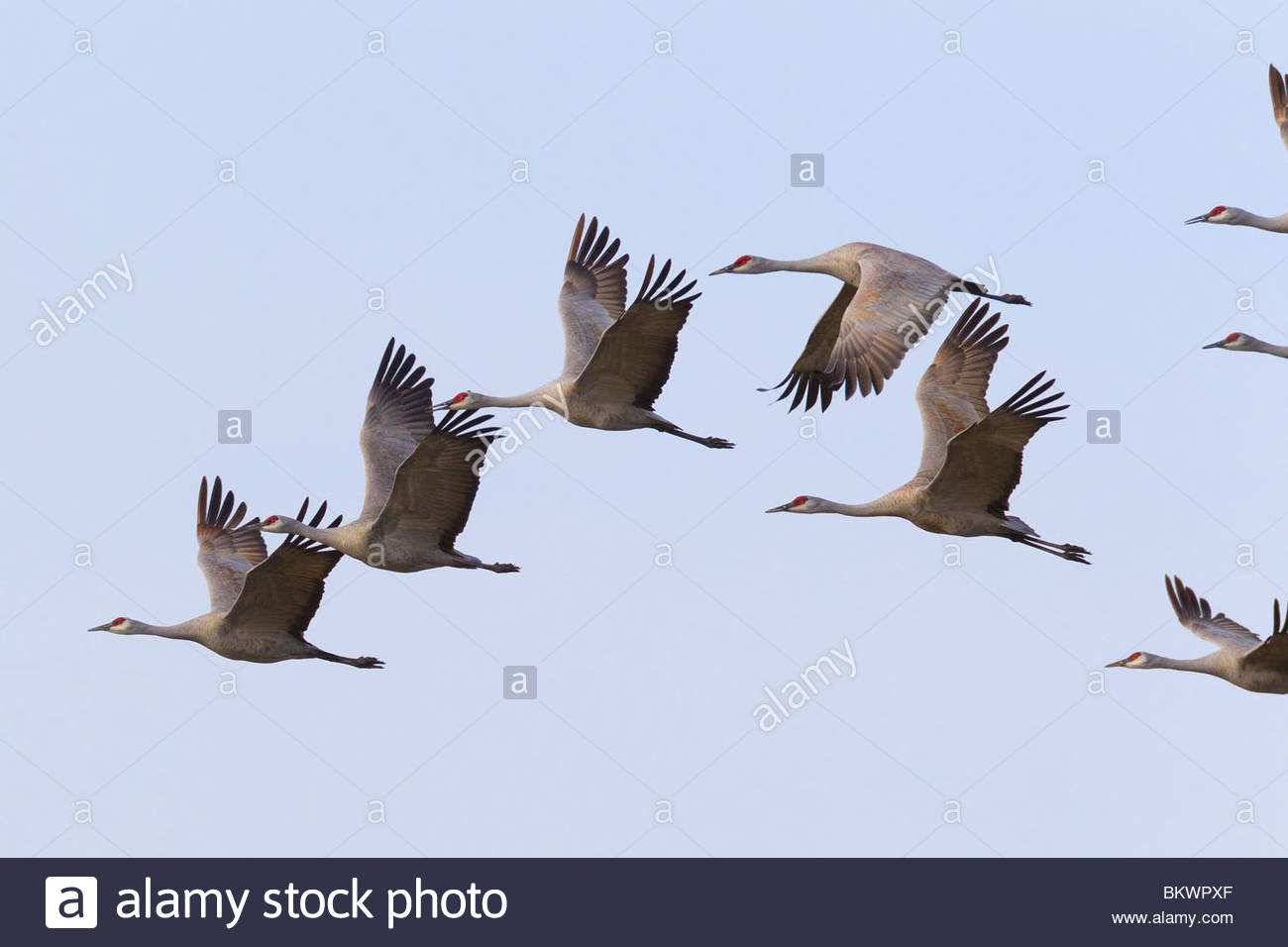 Several sandhill cranes (Grus canadensis) fly in formation over the Columbia National Wildlife Refuge near Othello, - Stock Image