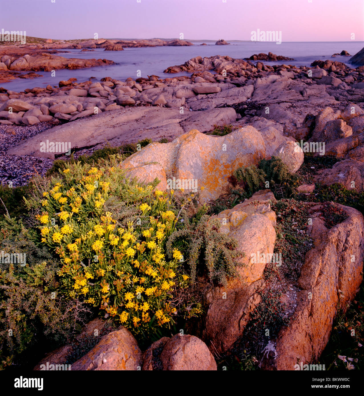 Wildflowers grow along the rocky shoreline at Tietiesbaai in Cape Columbine Nature Reserve, South Africa - Stock Image
