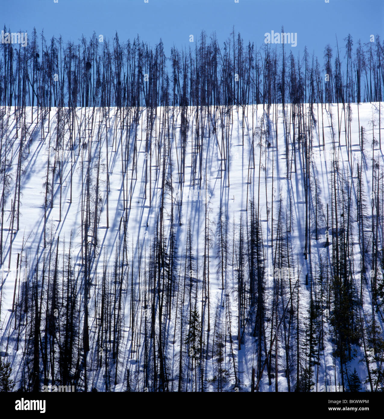 Burnt tree trunks create a pattern against the snow along Rt 287 near West Yellowstone, Yellowstone National Park, - Stock Image