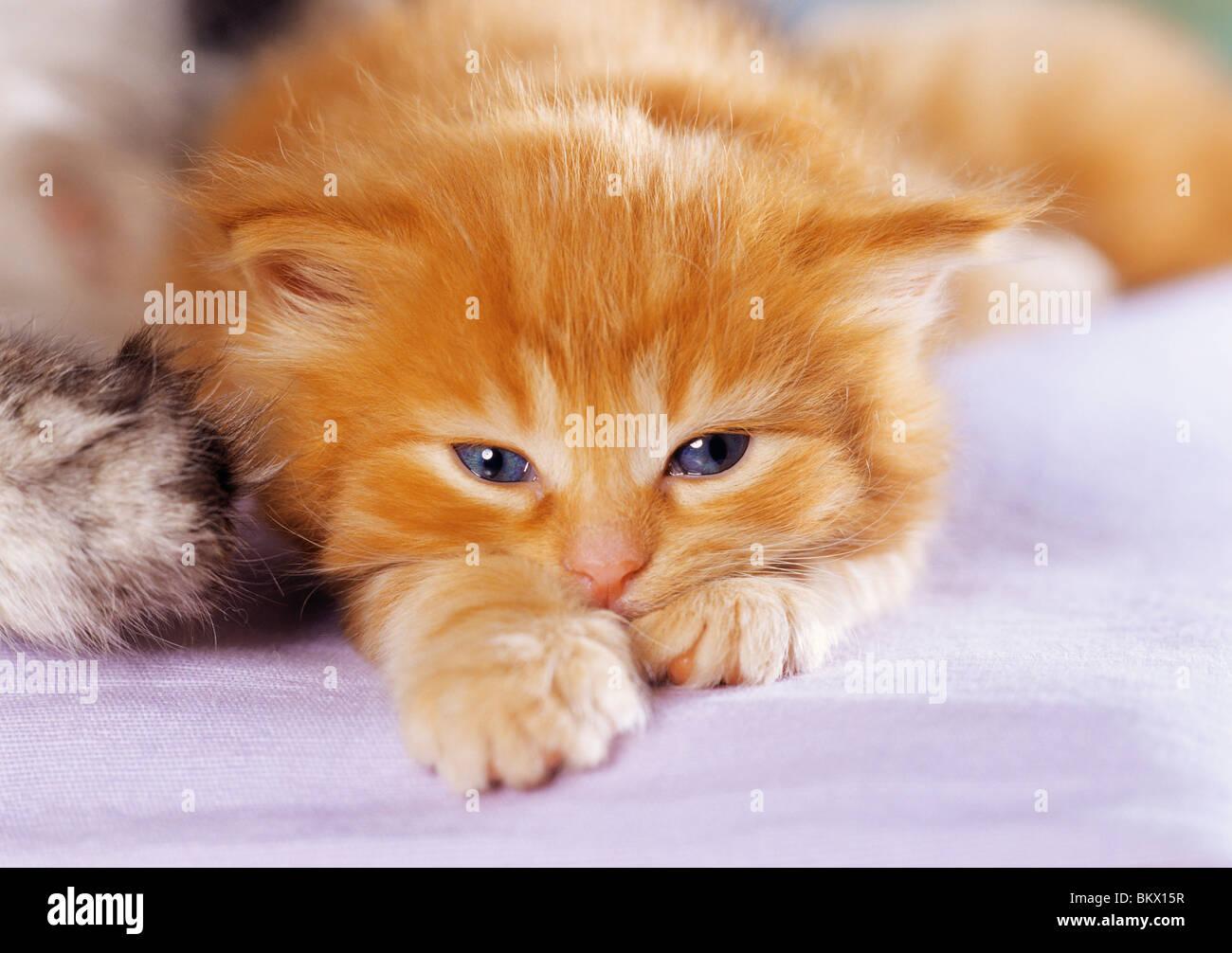 domestic kitten - Stock Image