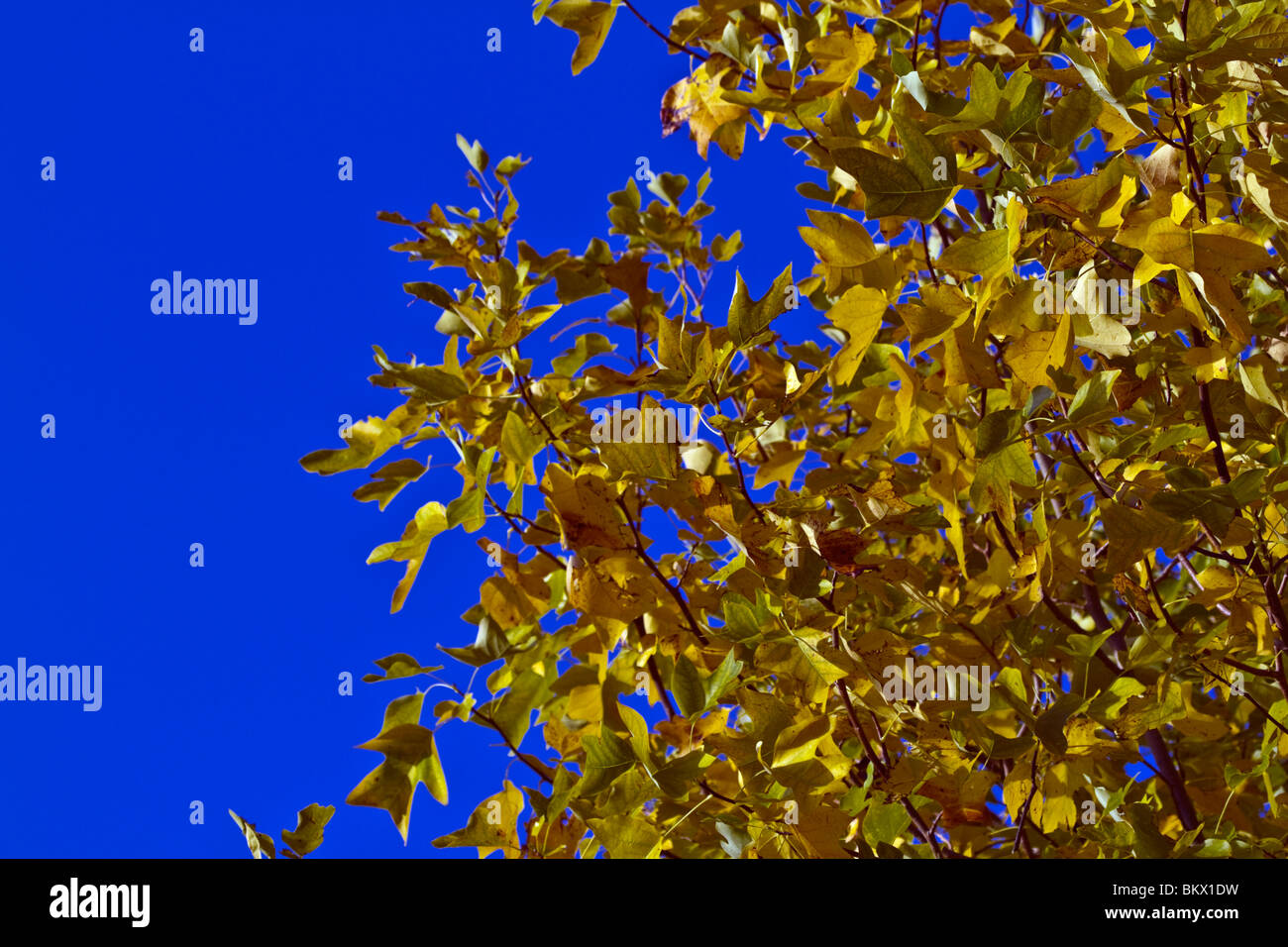 Colorful autumn leaves against a blue sky - Stock Image