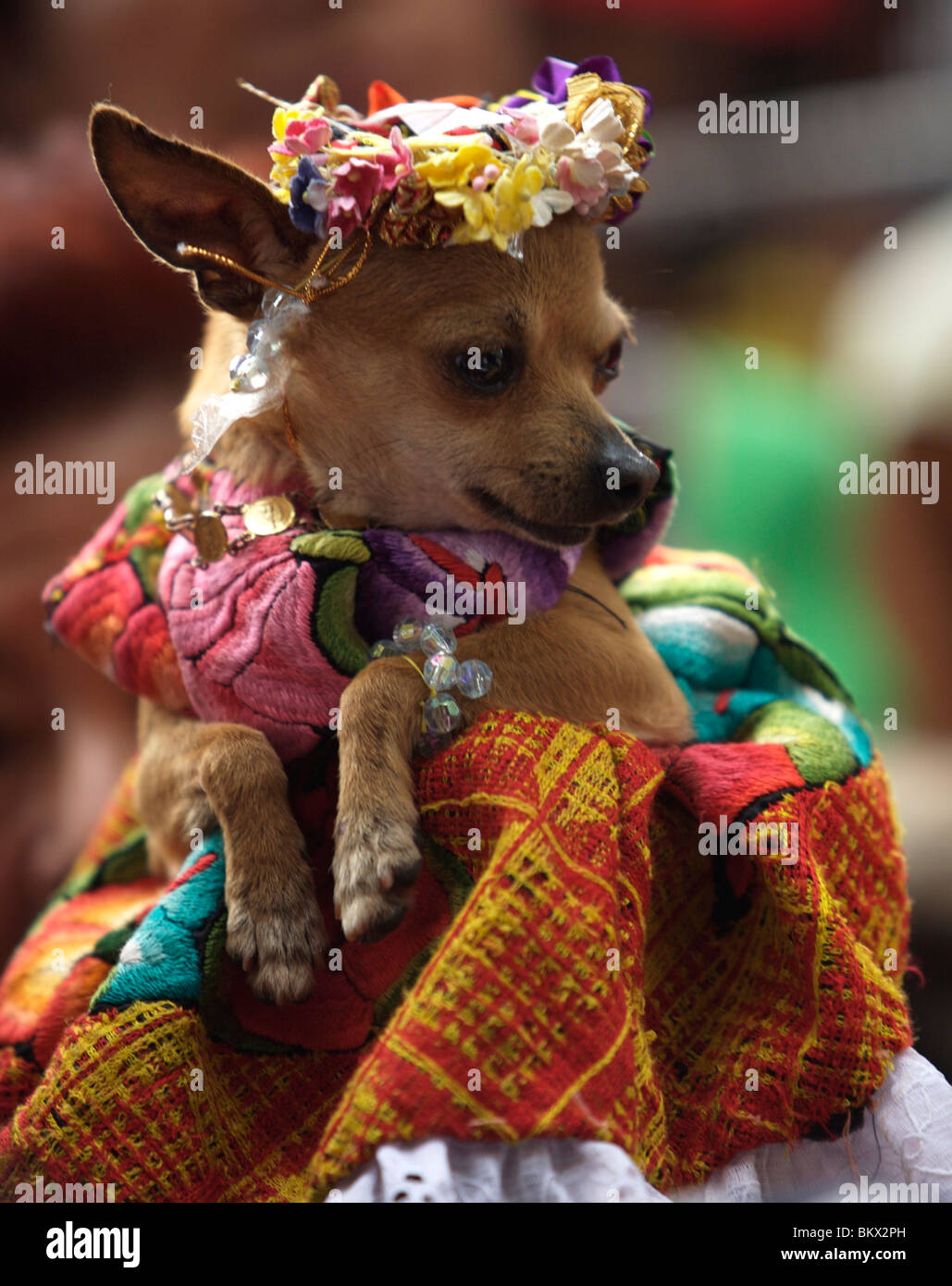 A woman holds her Chihuahua dog dressed in traditional clothes during the Blessing of the Animals celebration in - Stock Image