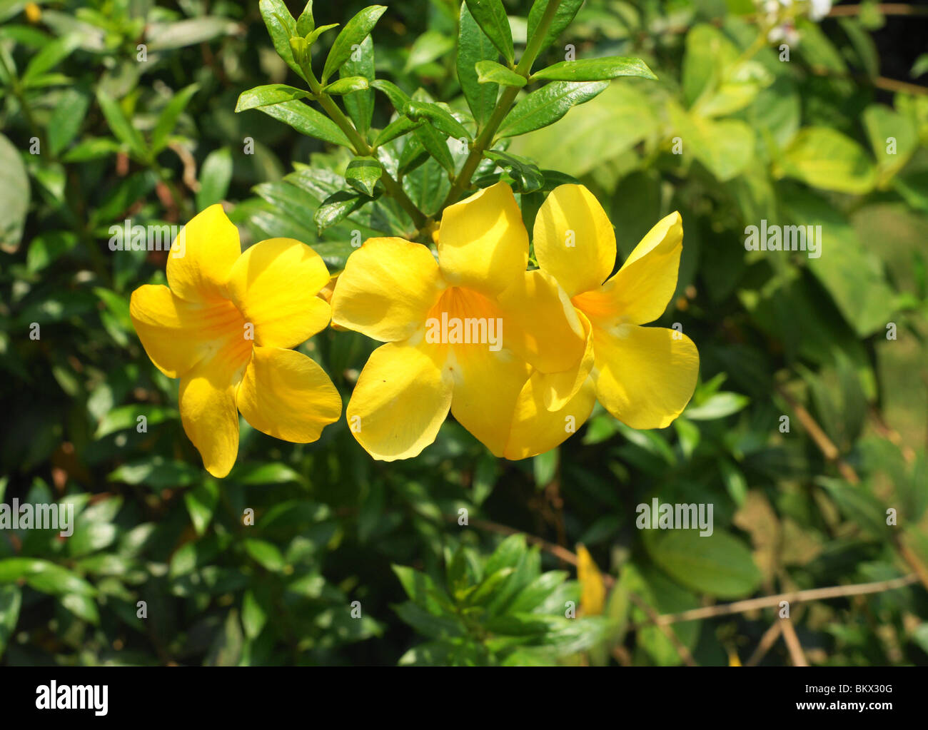 Flower India Stock Photos Flower India Stock Images Alamy