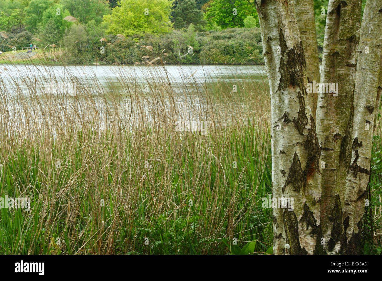 Birch trees on the banks of Virginia Water, The Royal Landscape, Windsor Great Park, Surrey, United Kingdom - Stock Image