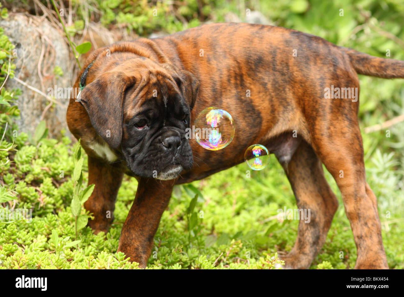Boxer Puppy - Stock Image