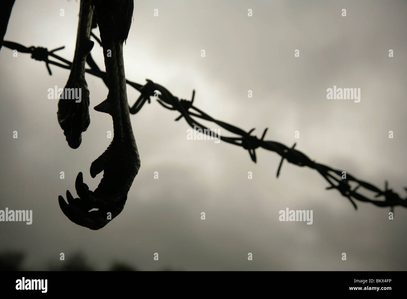 Dead bird\'s feet on barbed wire fence Stock Photo: 29463162 - Alamy