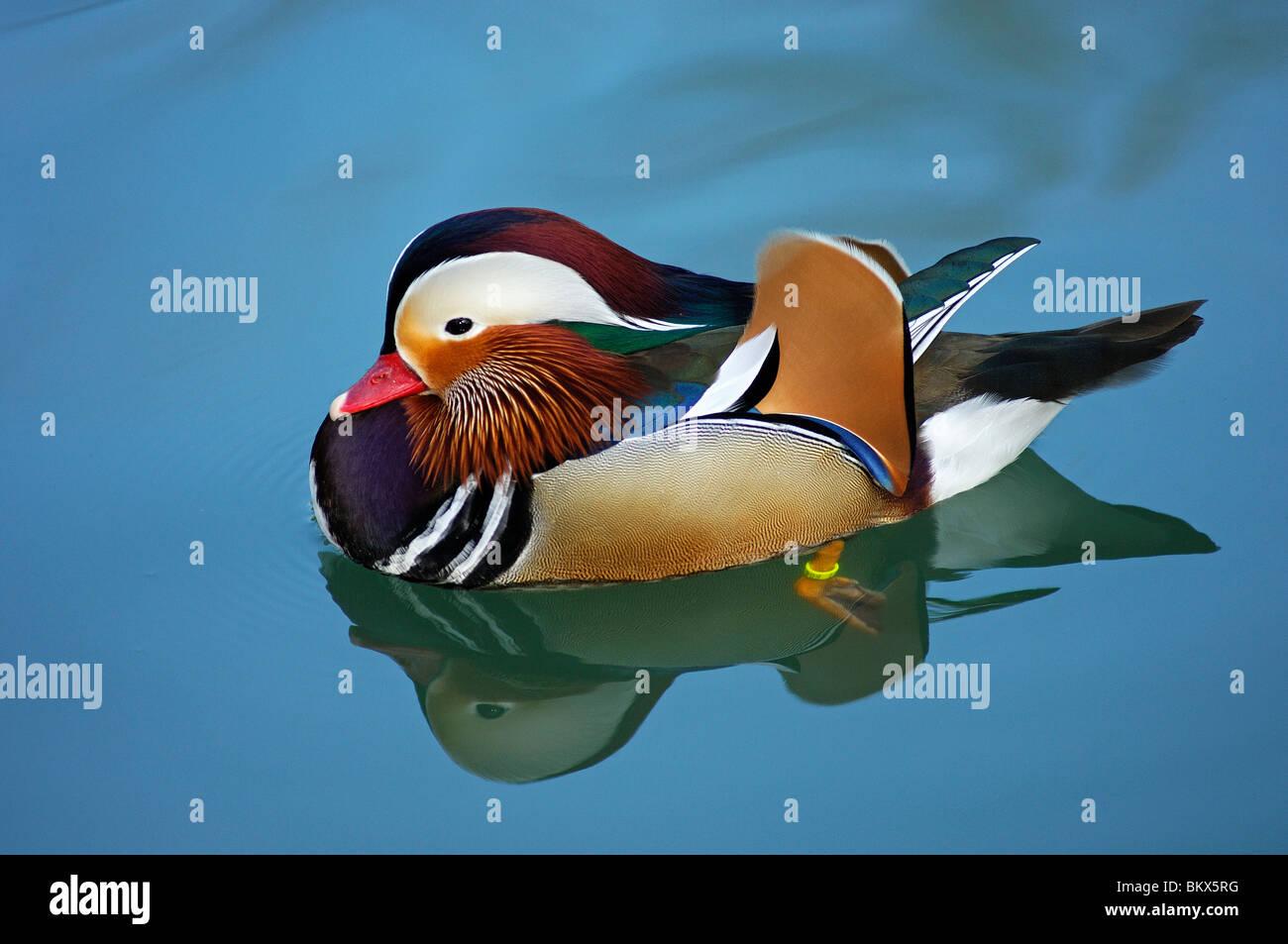 Male Mandarin Duck, Aix galericulata Stock Photo