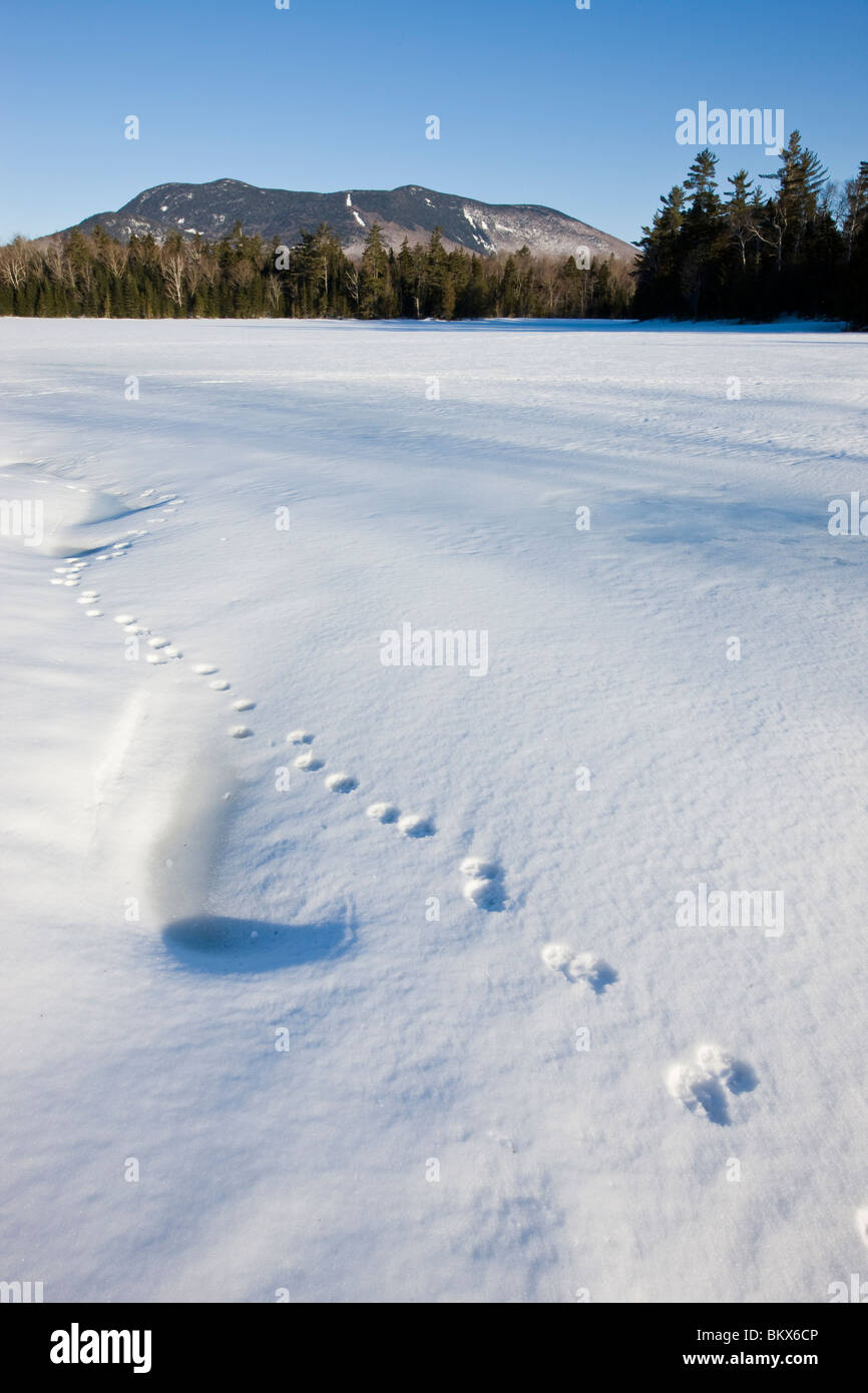 Animal tracks on a frozen pond near Little Lyford Pond Camps near Greenville, Maine, Winter.  Baker Mountain is - Stock Image