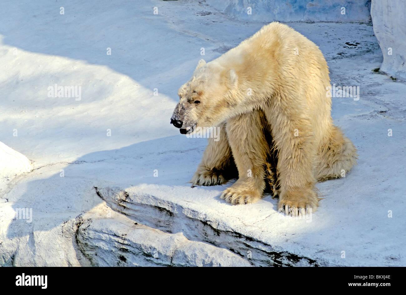 One Polar Bear Safari world Bangkok ; Thailand ; South East Asia - Stock Image