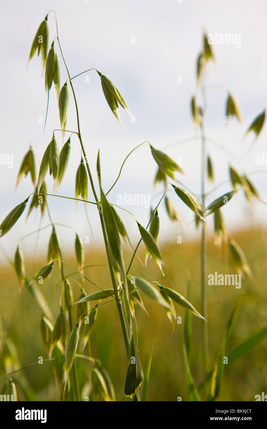 Wild oat - Avena fatua Stock Photo
