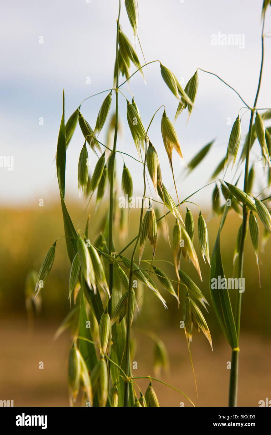 Wild oat - Avena fatua Stock Photo