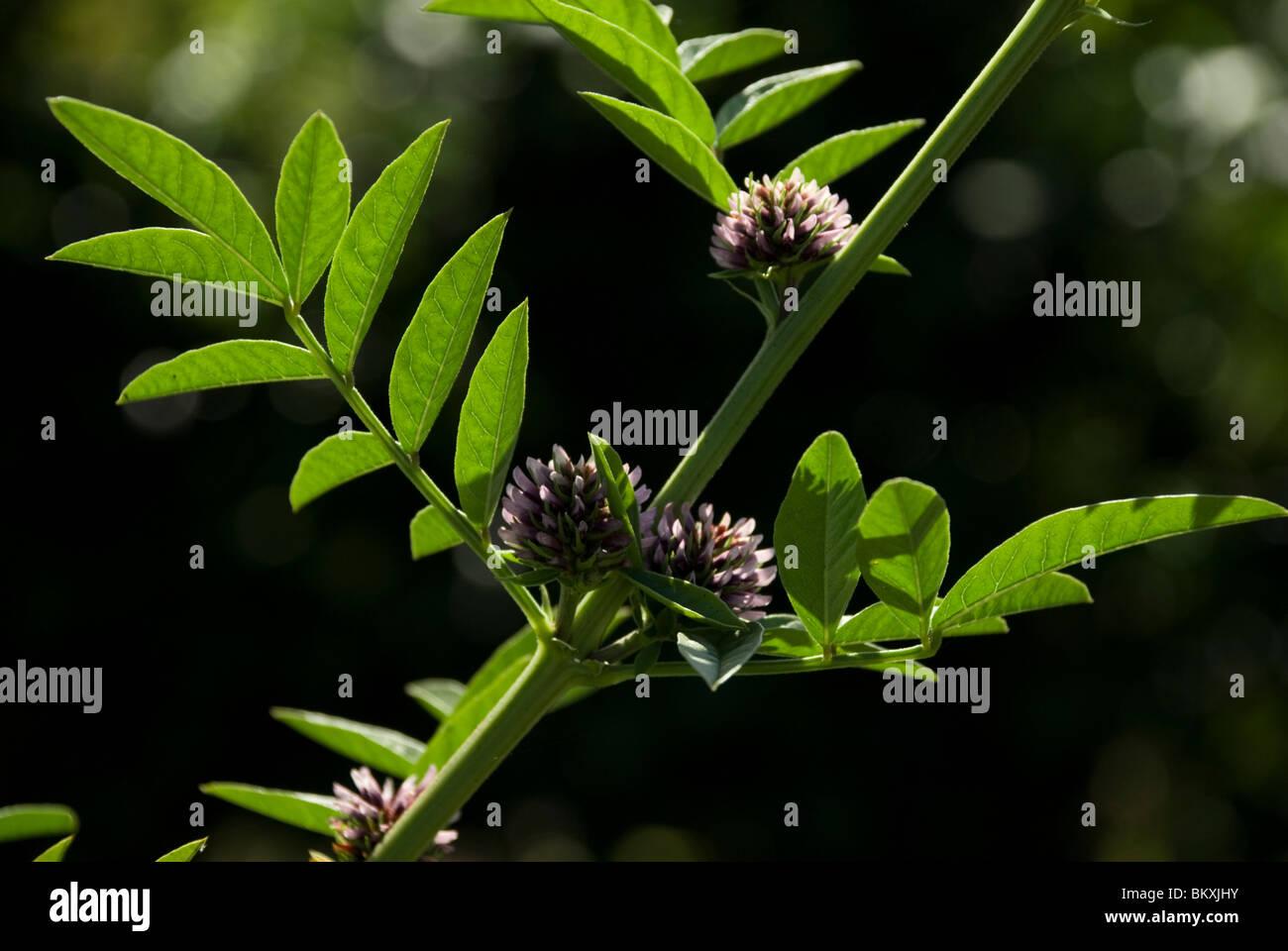 Glycyrrhiza glabra, Liquorice Stock Photo