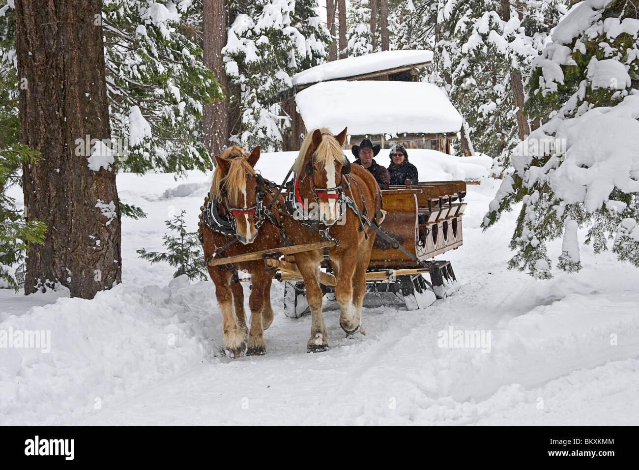 Sleigh ride through a pine tree forest, South Lake Tahoe, USA. - Stock Image