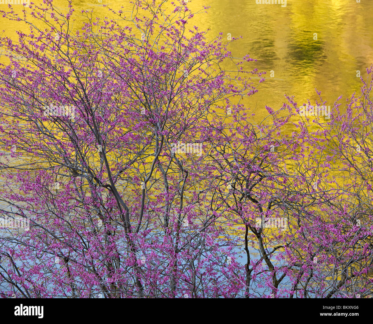 Sierra National Forest, CA: Flowering redbud (Cercis canadensis) against reflections of the Merced River - Stock Image