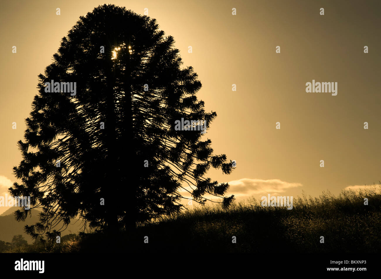 Bunya Pine - a native to South-East Queensland, Australia. - Stock Image