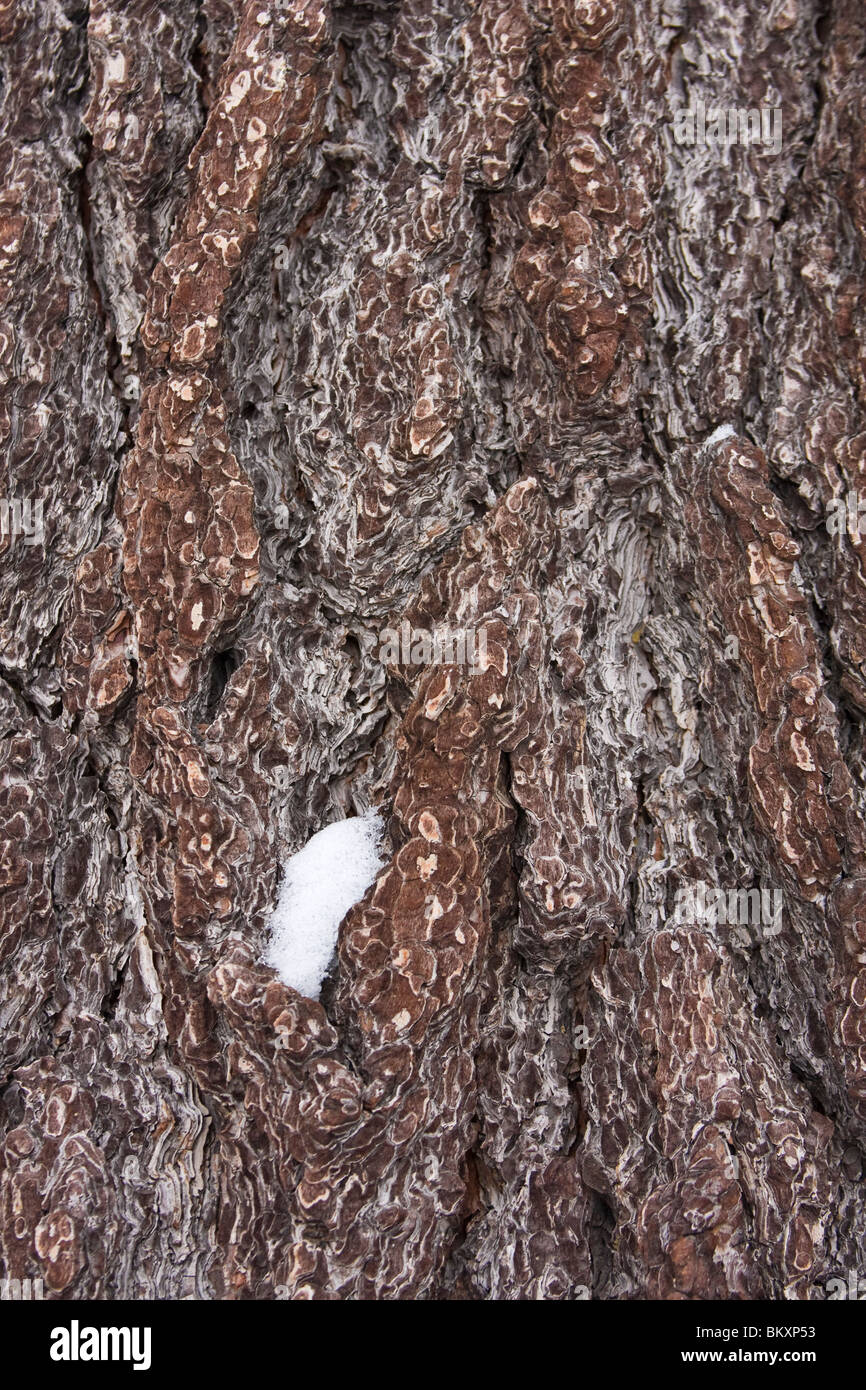 Bark of pine tree with clump of snow in winter. USA. - Stock Image